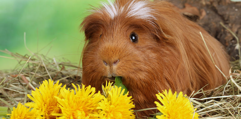 Guinea Pigs & Vitamin C - The Hay Experts Guide